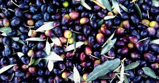 in-zona-_-vendemmia_-raccolta-olive_-la-locanda